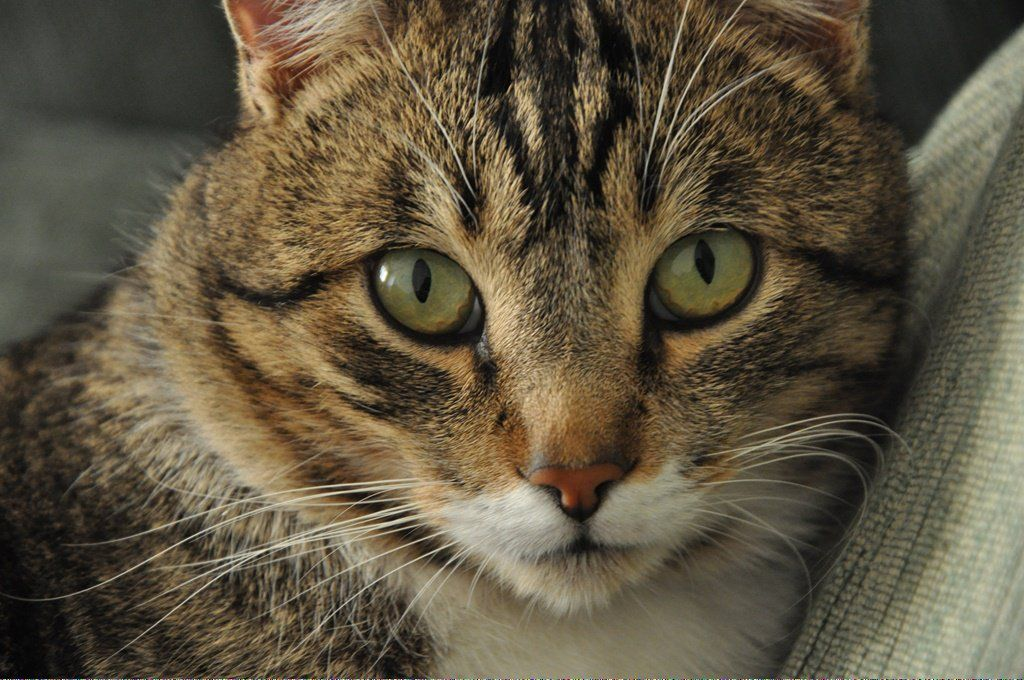 Catskill Ny CatsLLysine ID606272038 Why do cats purr