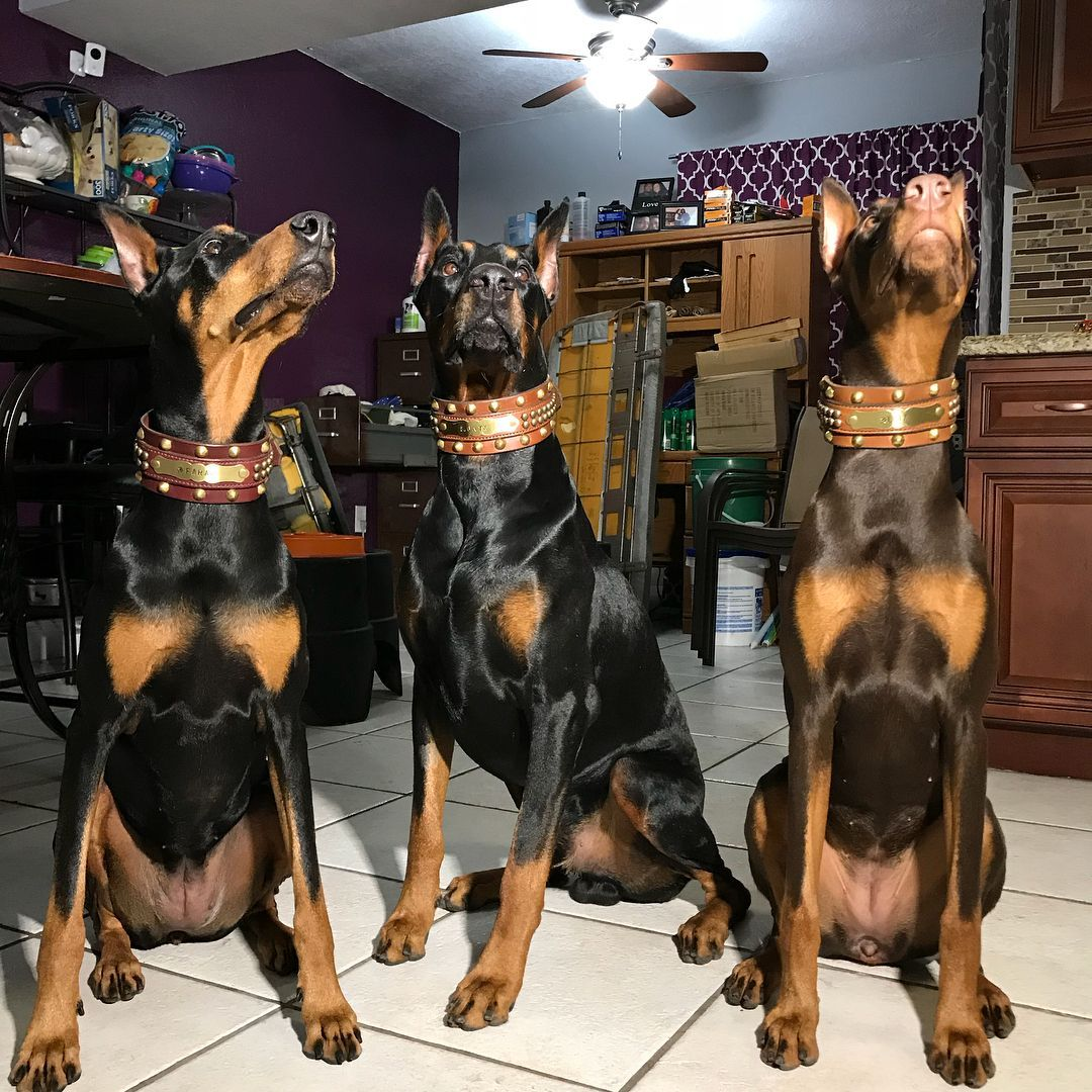Doberman Pinscher Doberman Pinscher Doberman Doberman Pinscher Dog