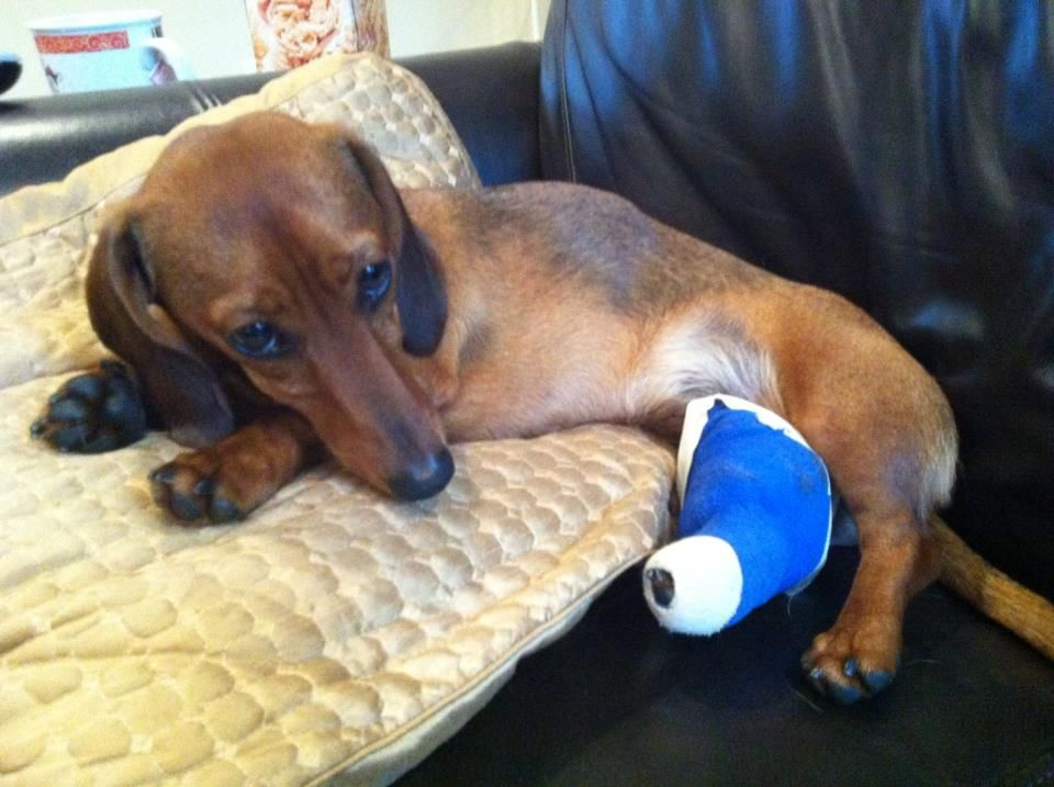 Dash The Dachshund Puppy In A Cast With A Broken Leg Wiener Dog