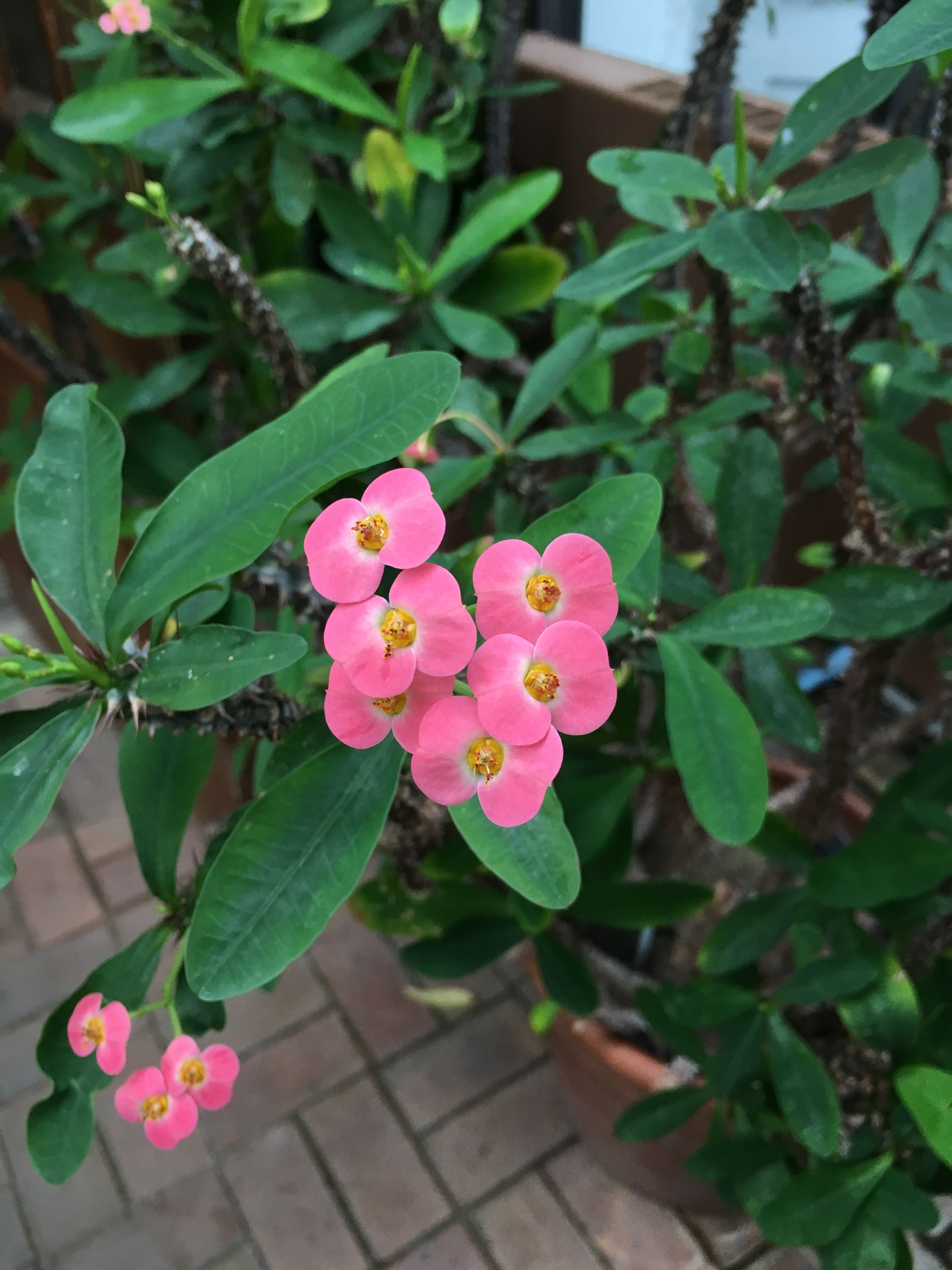 Pink Flowers From The Crown Of Thorns Nada Ayed Pinterest