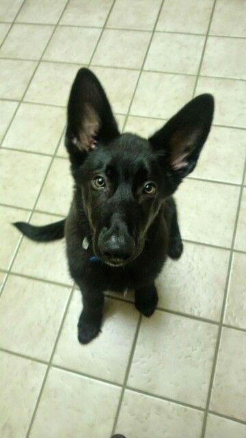 My dog, a black german shepherd