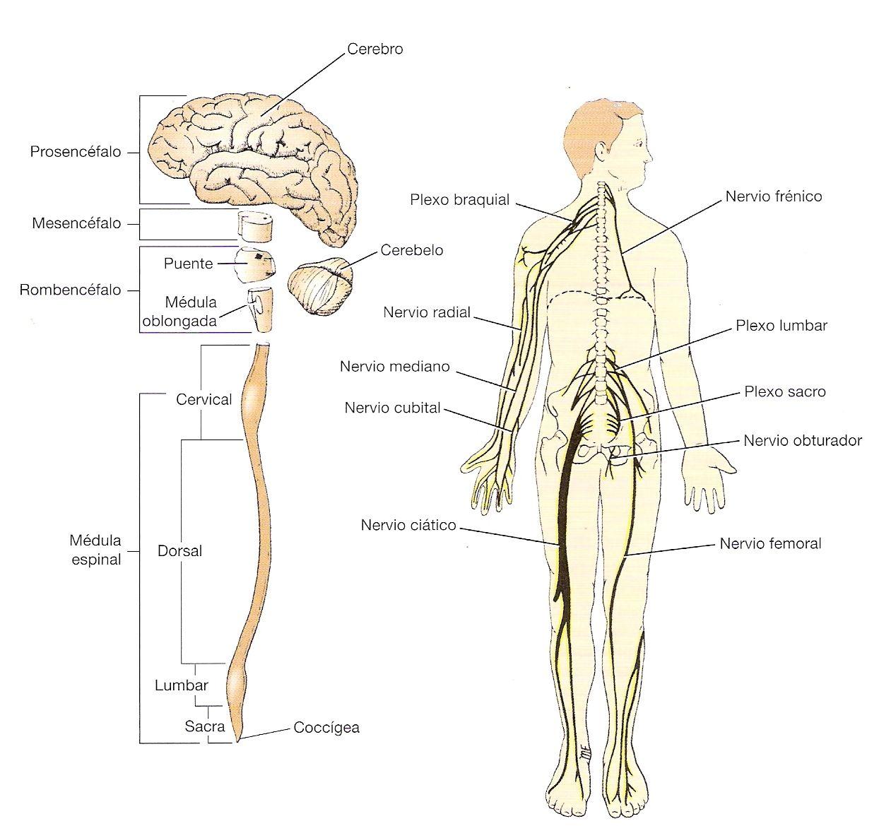 sistema nervioso central | SISTEMAS | Pinterest | Sistema nervioso ...