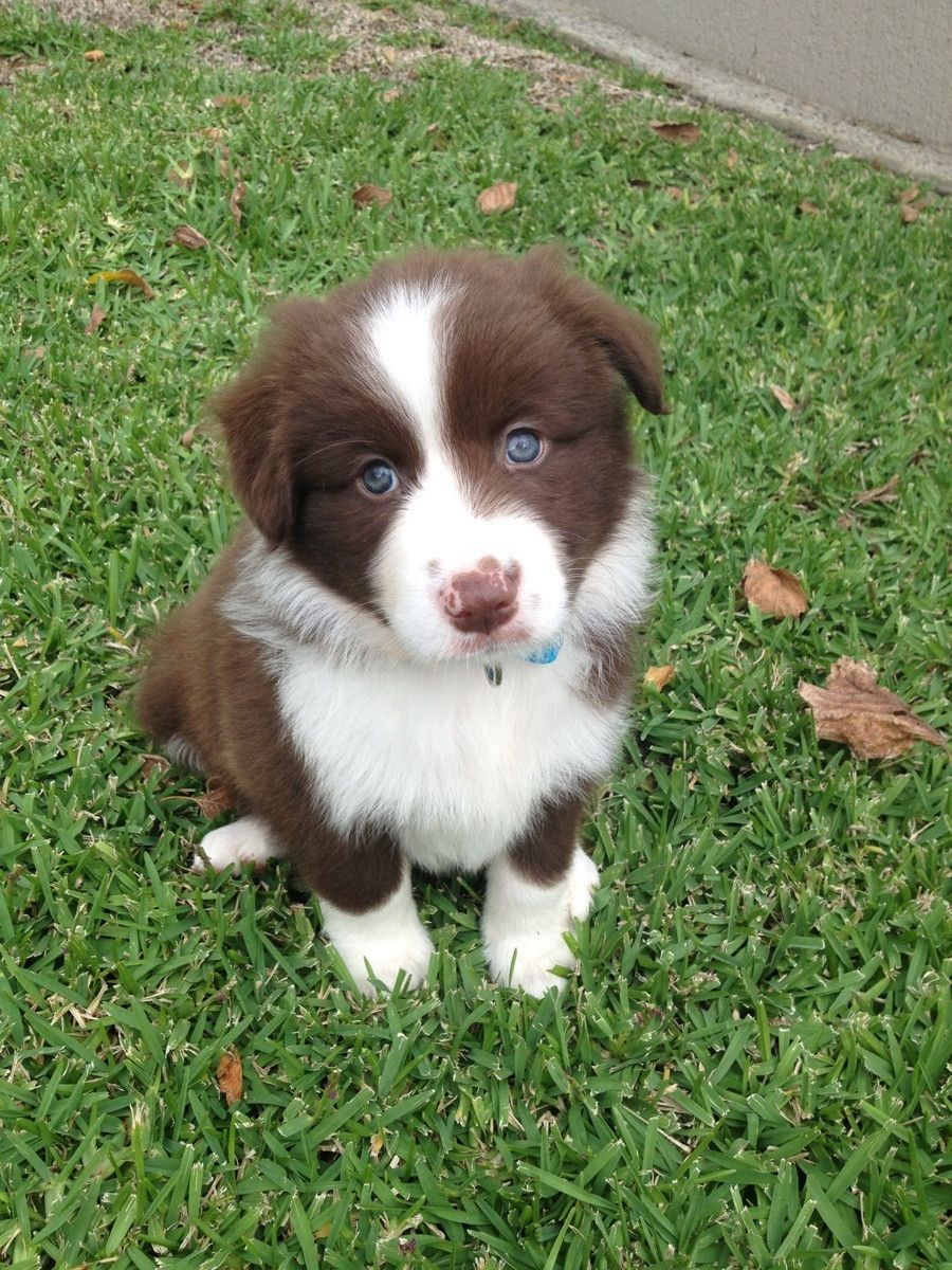 This Lovely Baby Border Collie - 304.1KB