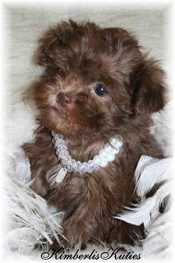 Lil Pia Chocolate Shih Poo Shih Tzu Toy Poodle Puppies