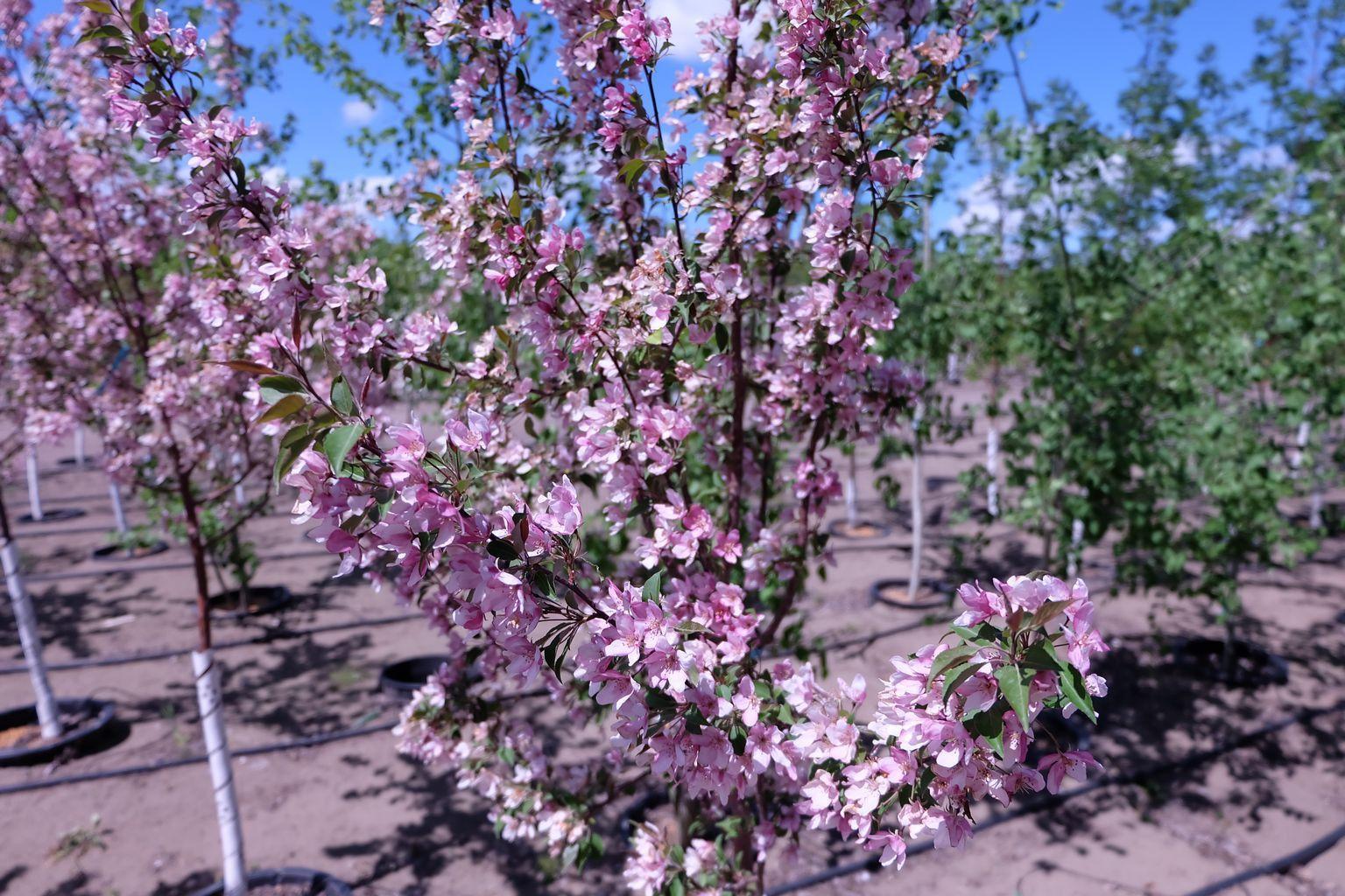 Crabapple Pink Spire, Flowering 5 Gallon Trädgård