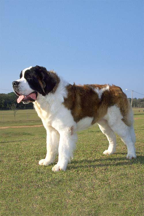 Saint Bernard Dog Breed Information Dog Breeds Big Dog Breeds St Bernard Dogs