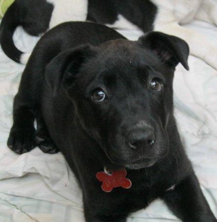 Short Haired Brown Medium Sized Dog Dog Midnight For Adoption In Flagstaff Arizona Black White Medium Sized Dogs Dog Adoption Flagstaff Arizona