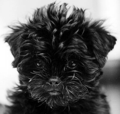 Affenpinscher Puppy The Name Means Monkey Dog Fitting If You Ve Seen The Adults The Affenpinsche Affenpinscher Puppy Affenpinscher Affenpinscher Dog
