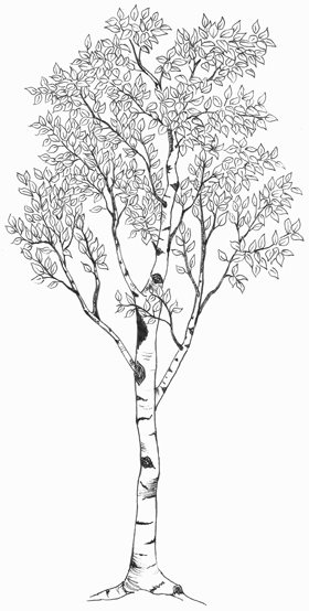 Is there anything you like about this in terms of style for Birch tree tattoo meaning