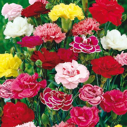 Hardy Mixed Carnations Plants For Sun Perennials And Roses Gurneys Seed Nursery