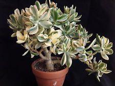 Crassula Argentea Variegata Variegated Jade Tree Bonsai Succulent In 6 Jade Plants Rare Succulents Cacti And