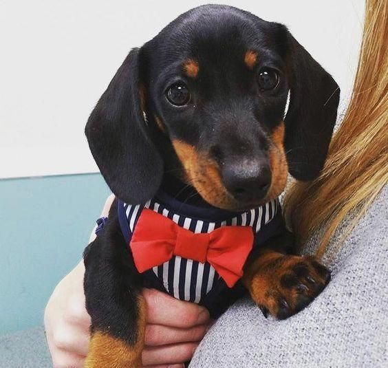 Find Out More On The Vigilant Daschund Temperament Daschunddaily