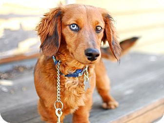 Detroit Mi Dachshund Mix Meet Peewee Foster Me A Dog For