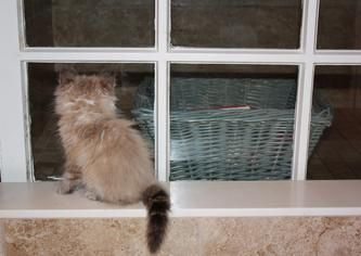 Sestra Siberians About Siberian Kittens Day Trips From London Kitten For Sale