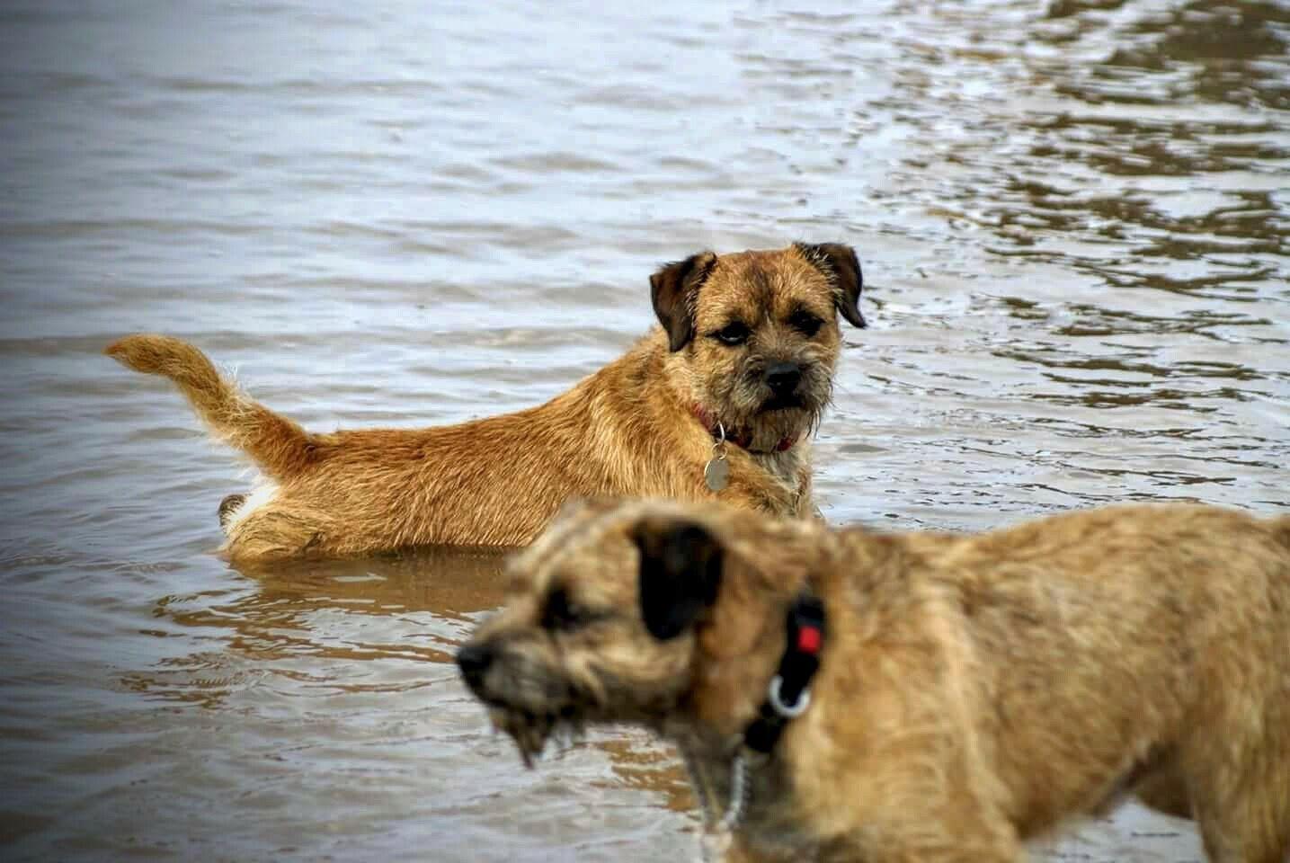 Border Terriers Enjoying The Water At Formby Beach Merseyside Uk