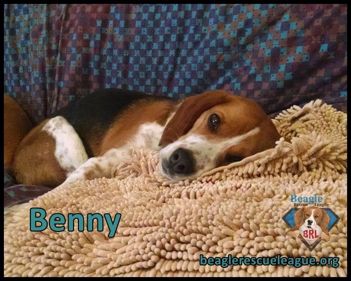 Adopt Benny On Beautiful Hounds Dogs Beagle