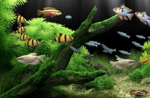 Freshwater fish for aquariums be sure and ask if you don for Freshwater community fish