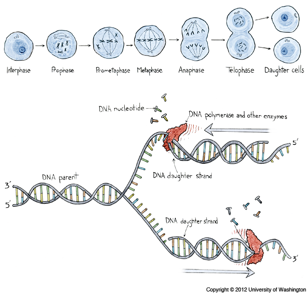 Dna replication the 3 gs genes genomes and genomics pinterest dna replication ccuart Gallery