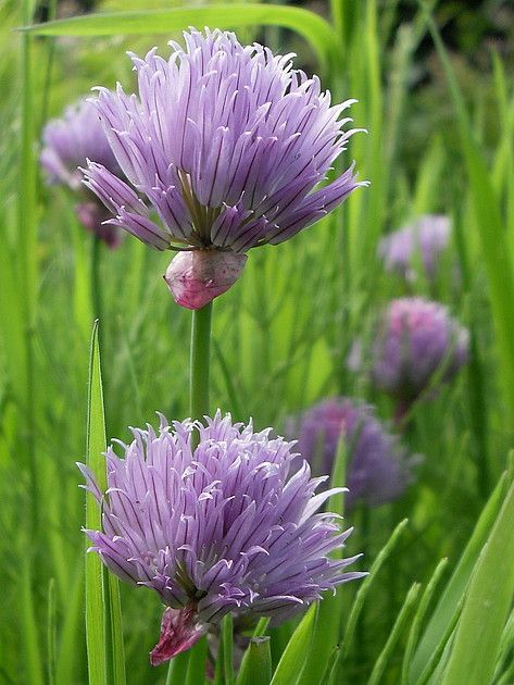 Chives Flowers Chive Flower Beautiful Flowers Flower Images