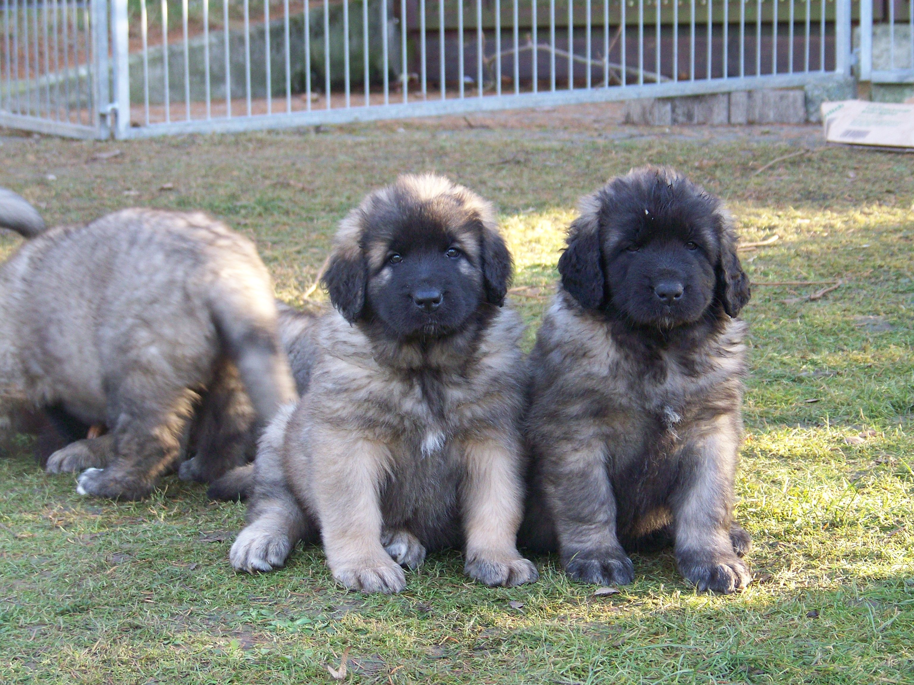 leonberger puppies. So squeezy! Leonberger puppy