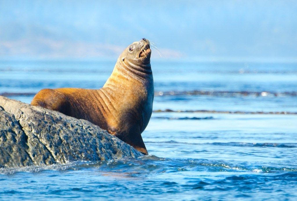 Did you know?!! Sea lions can dance to a beat! There are only two mammals  on Earth with the proven ability to move their bodi…   Animals, Animal  species, Sea lion