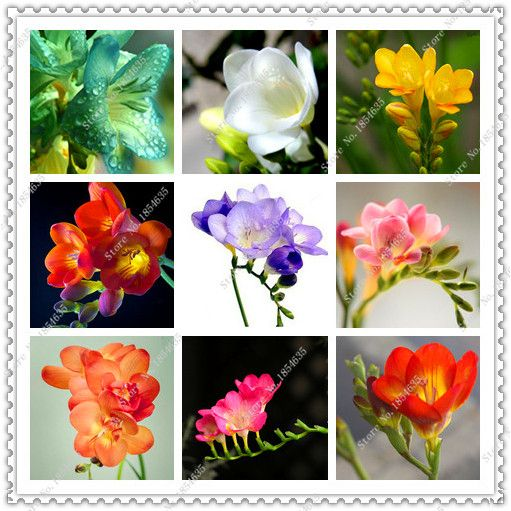 Aliexpress 200pcs Bag Freesia Seeds Potted Freesia Flower Seeds Variety Completebonsai Plant Home Garden 32735000285 Flower Seeds Freesia Flowers Seed Pots