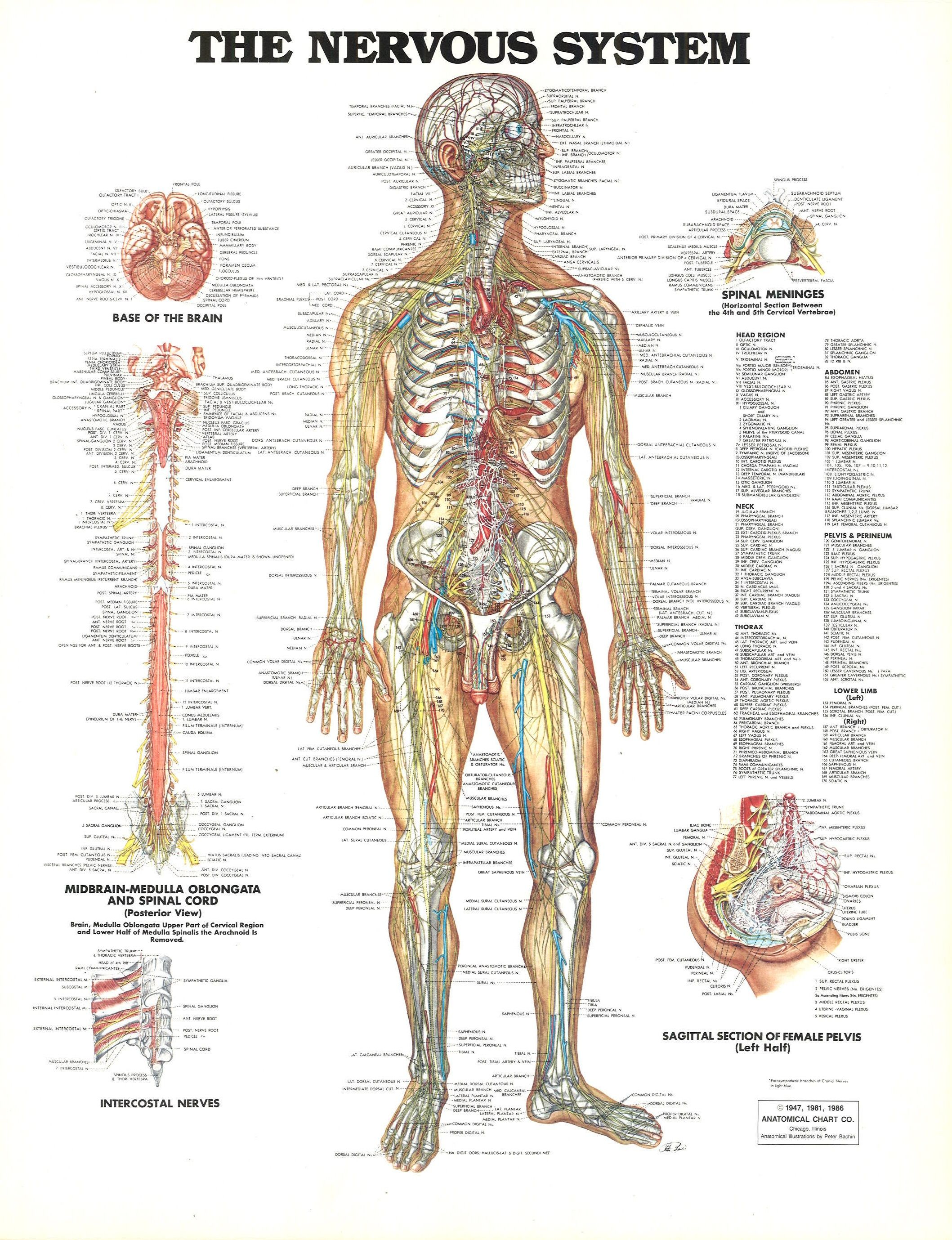 nervous system diagram nervous system anatomy human nervous system nerve anatomy human [ 2117 x 2757 Pixel ]