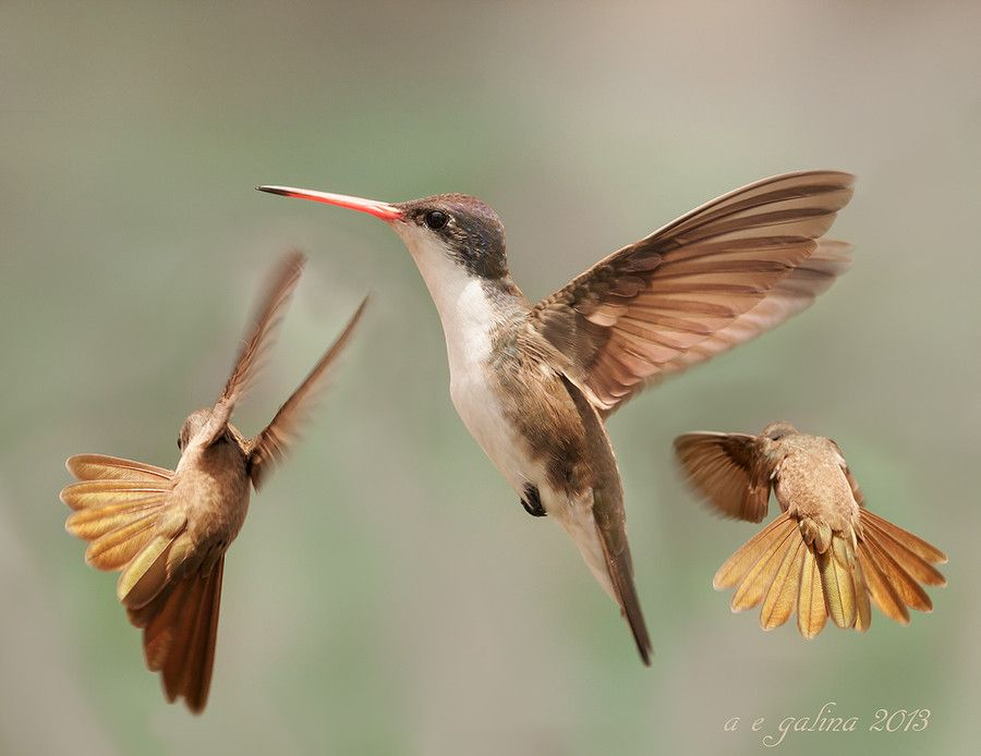 "500px / Photo ""el vuelo del colibri"" by Alfonso Emmanuel Galina"