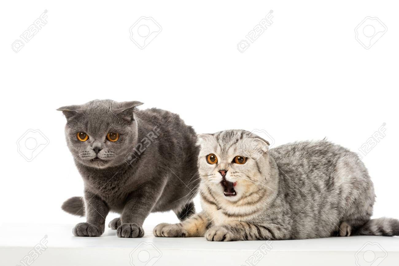striped british shorthair cat yawning near grey british