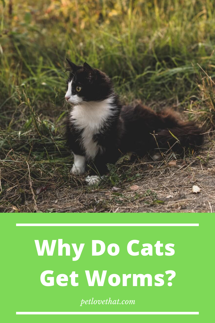 Why Do Cats Get Worms Pets, Cats, Cat questions
