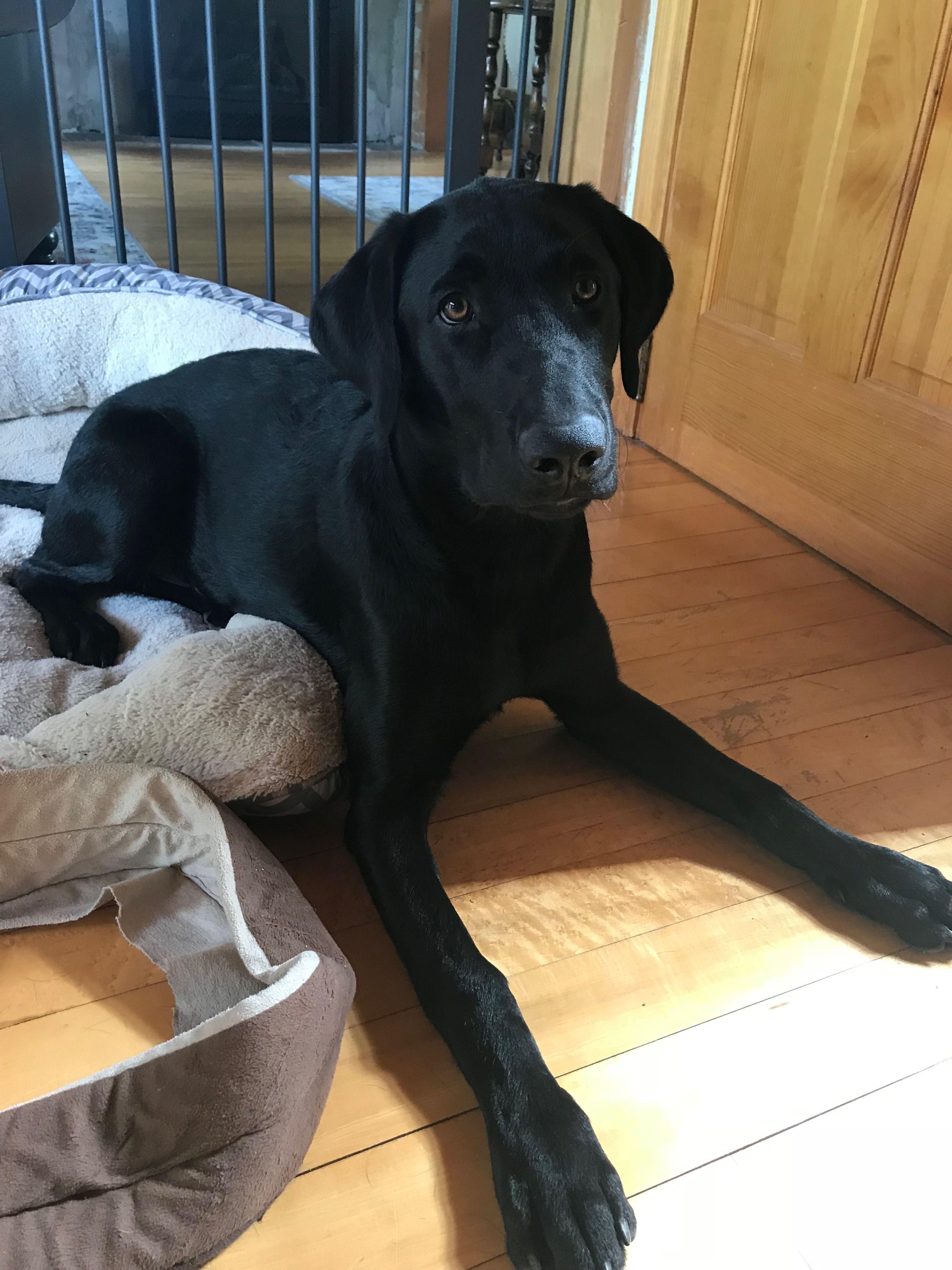 6 Month Old Black Lab Labrador Puppy Dog Brain Labrador Puppy