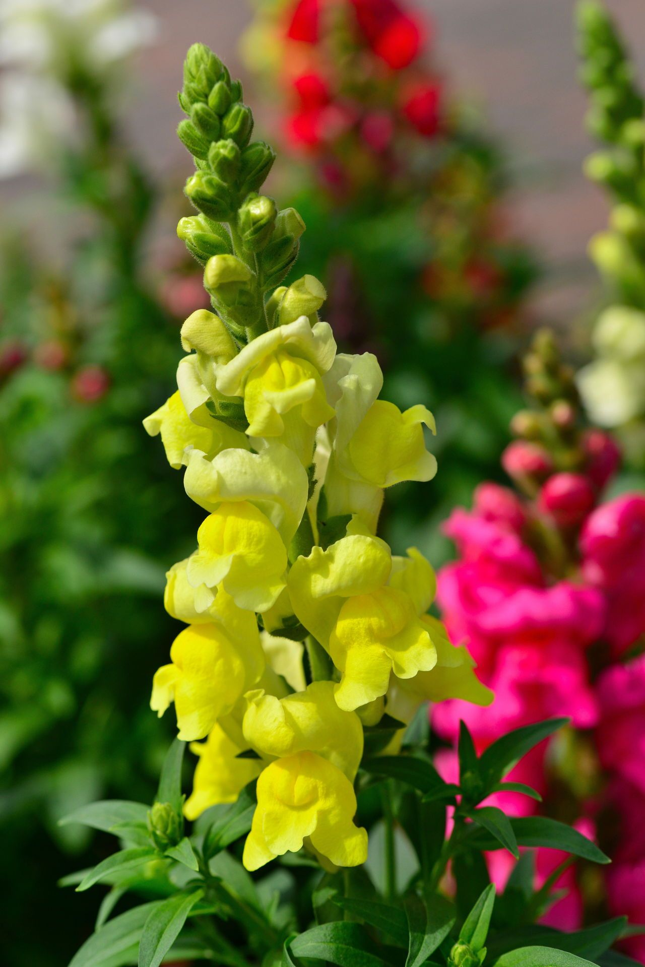 Snapdragon Meaning And Symbolism Of This Beautiful Flower Snapdragon Flowers Beautiful Flowers Snapdragons