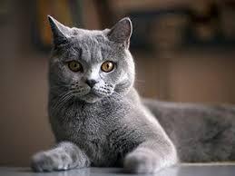 Bildergebnis Für Katzenarten Und Katzenrassen Gatos Gato Birman Felino