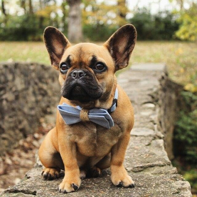 This French Bulldog Puppy In A Bow Tie Is A True Gentleman