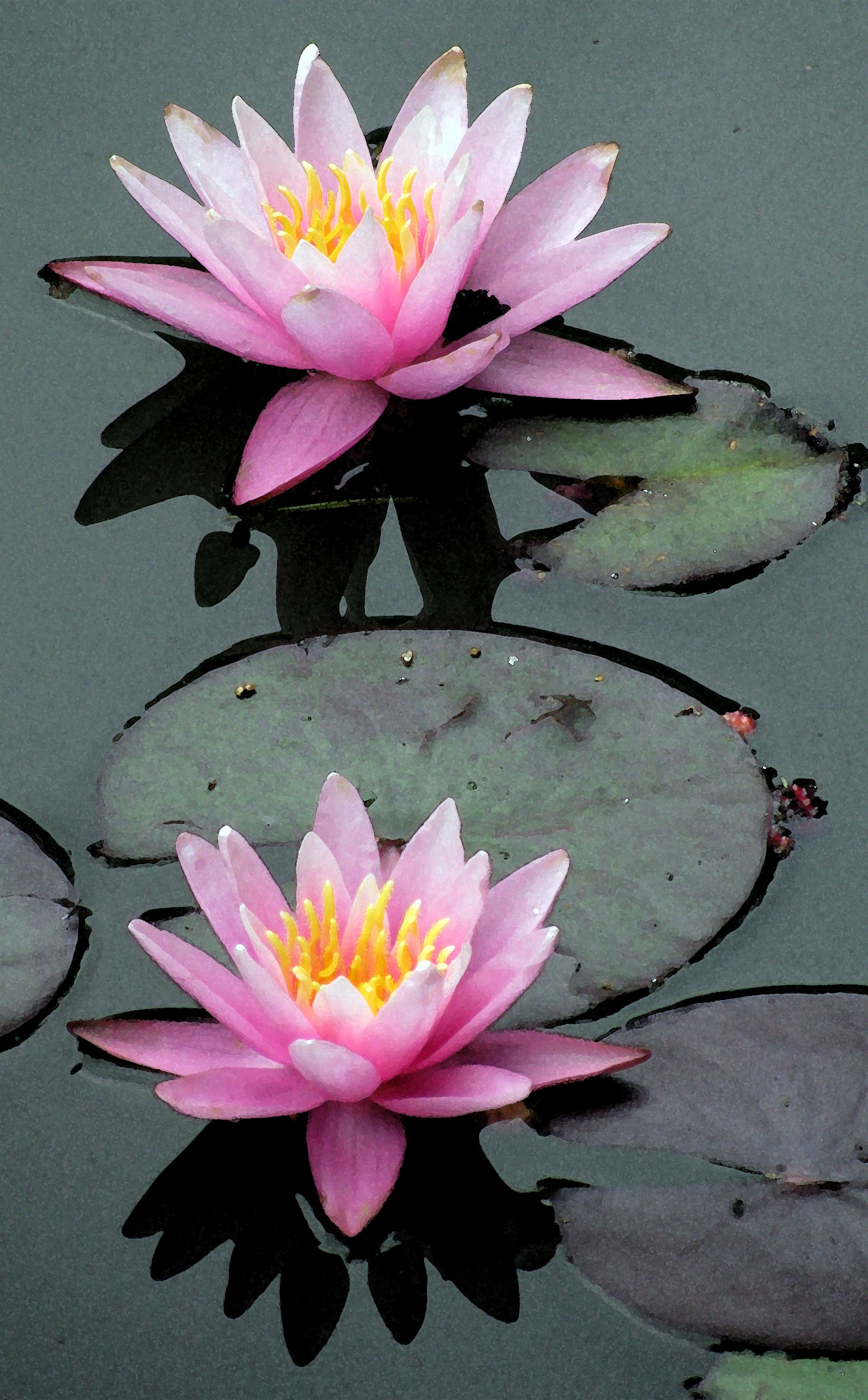 Pink Waterlilies Christine B. © 2012 (With images