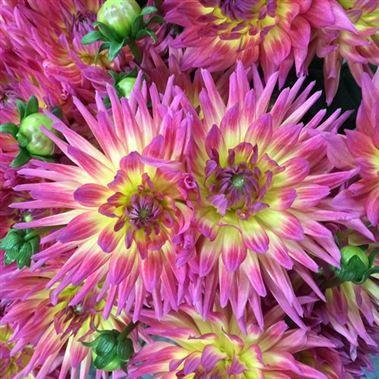 Dahlias Karma Sangriaare A Beautiful Spiky Cerise Orange Cut