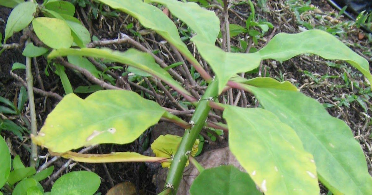 Terbaru 25 Gambar Bunga 7 Jarum Pokok Jarum Tujuh Bilah Wikipedia Bahasa Melayu Bunga Jarum Atau Bunga Asoka Bunga Hias Buatan Di 2020 Bunga Menanam Bunga Tanaman