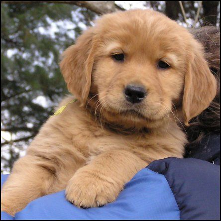 Golden Retriever That S What Tabasco Looked Like As A Puppy
