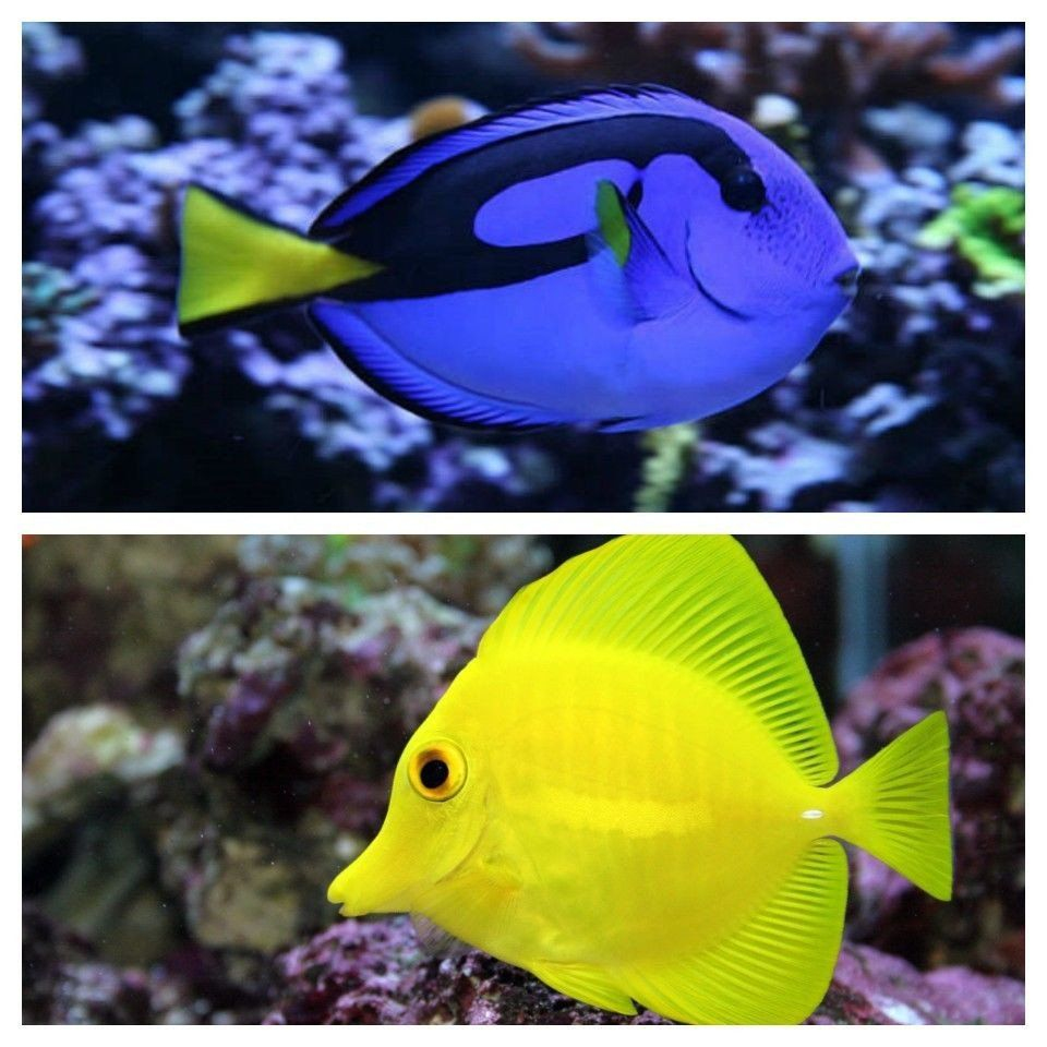 Yellow Tang Small Blue Hippo Small Package Saltwater Fish Free Shipping Marine Fish Packages Www Yourfishstore Com Blue Tang Fish Fish Silhouette Fish