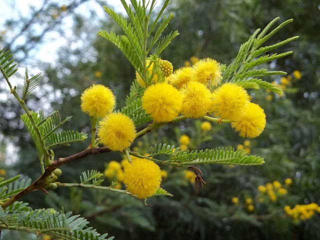 Yellow Pom Poms Of Acacia Karroo Gardening In Africa Plants Flowering Trees Planting Flowers