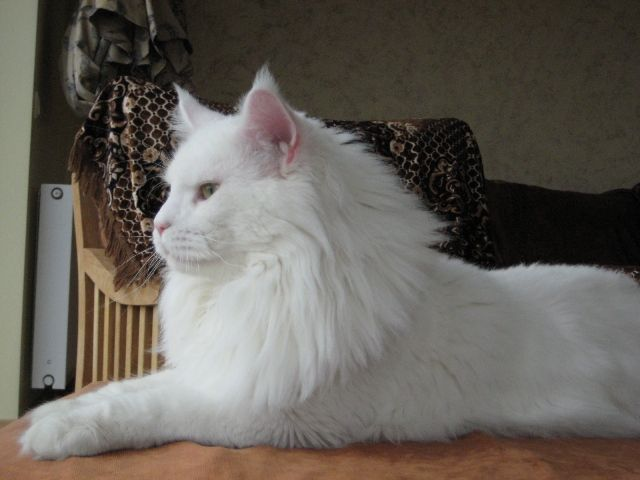 Maine Coon - Maine Coon cattery homepage