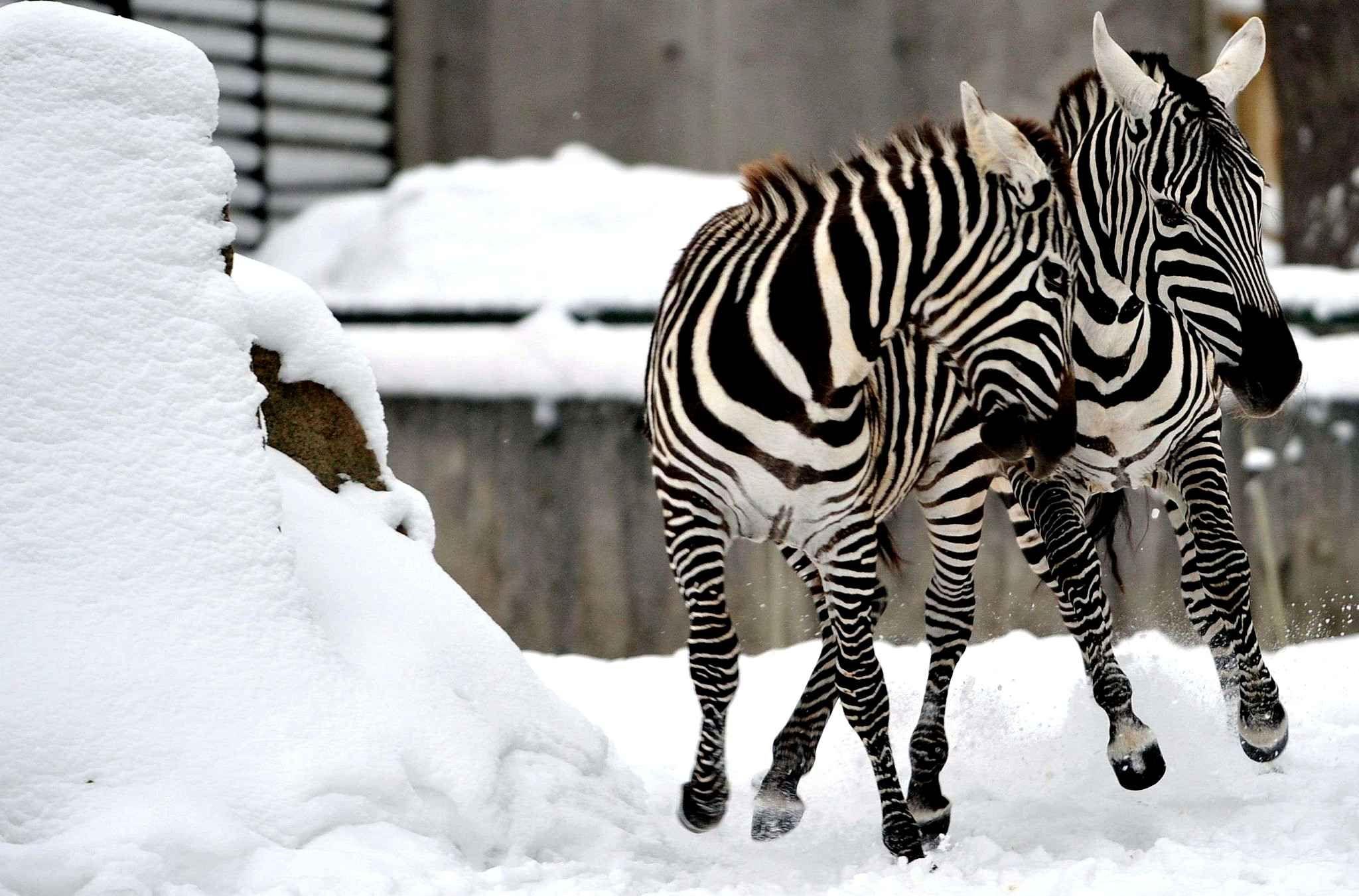 Les zèbres du zoo de Liberec en République tchèque s'amusent dans leur enclos couvert de neige.