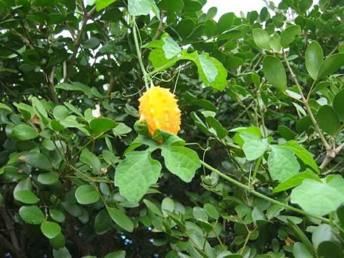 Cerasee, Bush Medicine of Belize and Central America   Bush