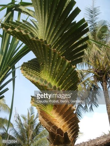 Stock Photo : Palm tree spiral-shaped | Les arbres ...