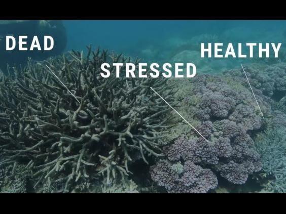 Great Barrier Reef Is Almost Officially Dead Coral