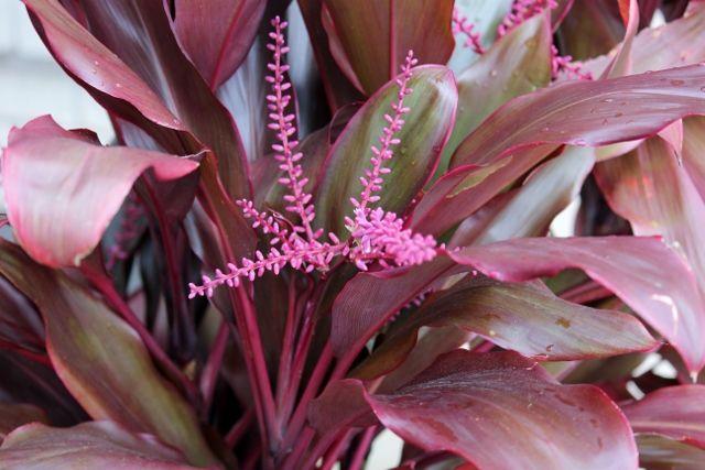 Image Result For Cordyline Fruticosa Rubra Plants Garden Plants Garden