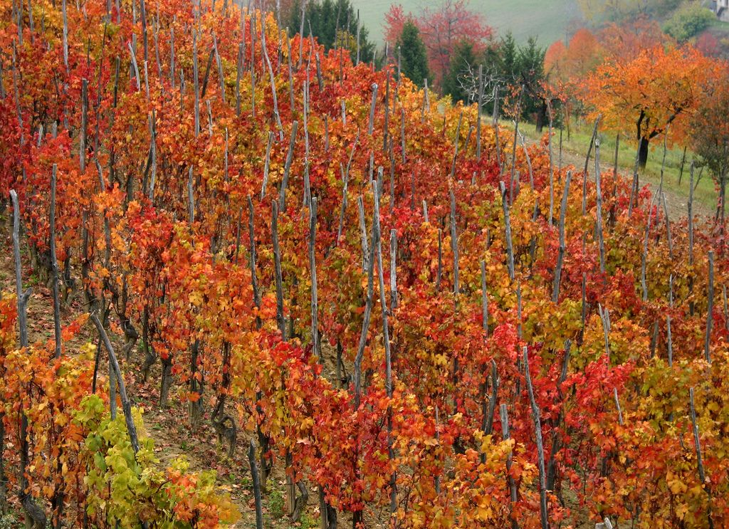 Langhe vineyards in the autumn - vigna in autunno | Flickr - CC tonino62