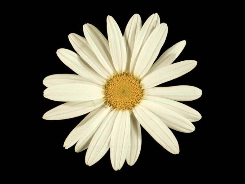 Fib About Daisies >> The Outer Ring Of Ray Florets In The Daisy Family Illustrate The