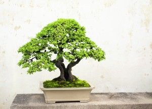 Prune Away Tension by Growing a Bonsai Tree