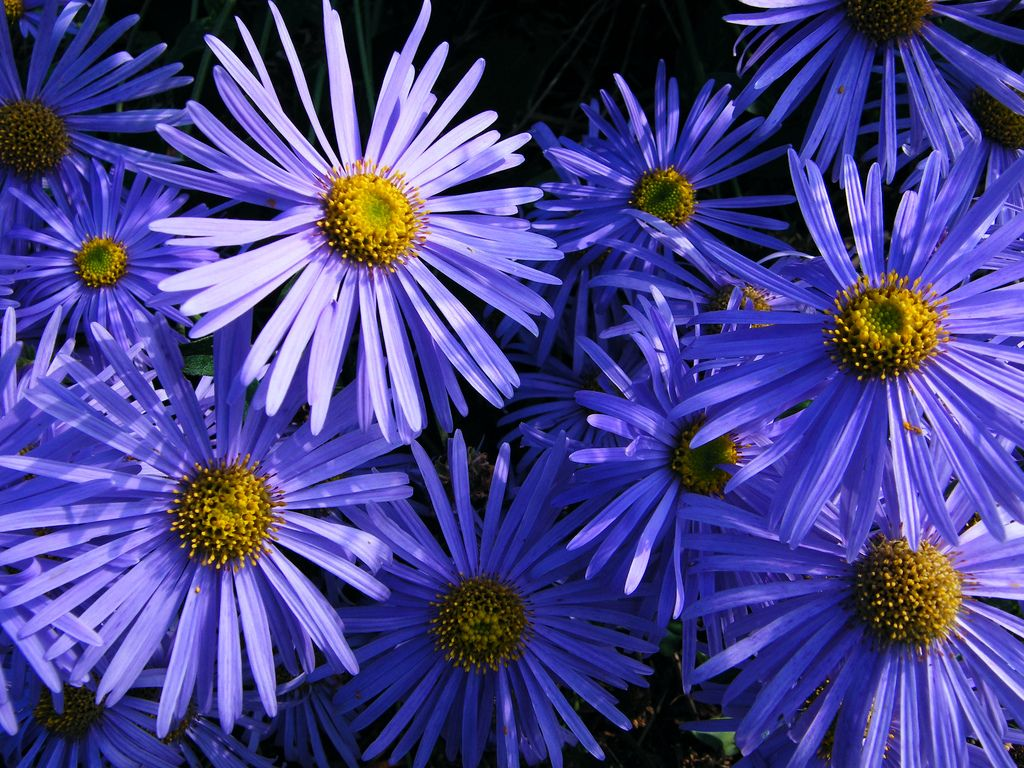 Growing Asters How To Grow Aster Flowers In Your Garden Aster Flower Flowers Perennials Plants